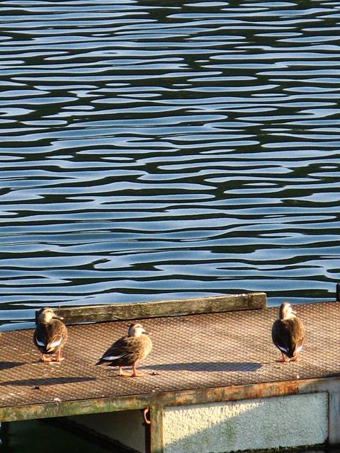 鮎川湖のアヒル